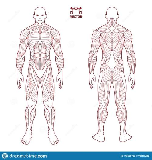 small resolution of human body anatomy male man front and back muscular system of photos human body diagram contour on the human body medical body