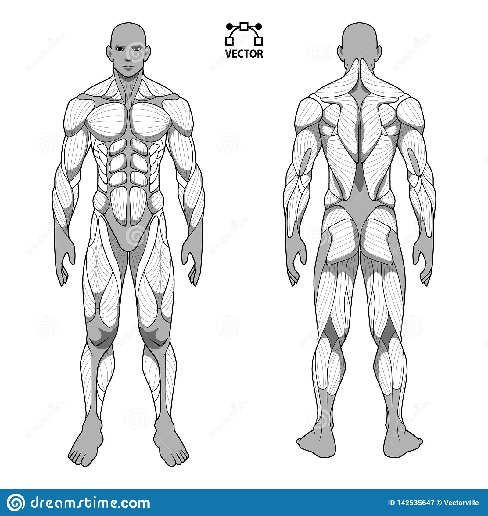 https www dreamstime com human body anatomy male man front back muscular system muscles flat medical scheme poster training healthcare gym human image142535647