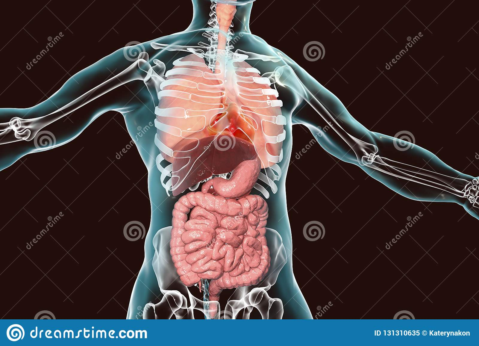 hight resolution of human body anatomy respiratory and digestive system