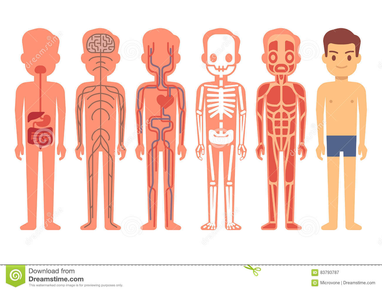 Human Body Anatomy Vector Illustration Male Skeleton
