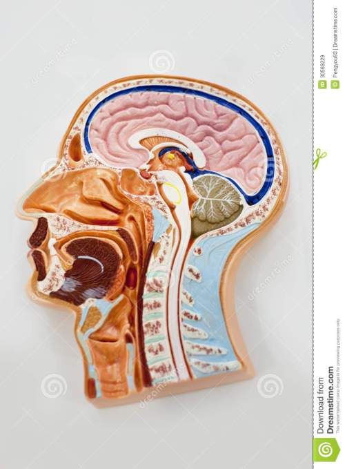 small resolution of human body model brain anatomy diagram human body model brain anatomy diagram