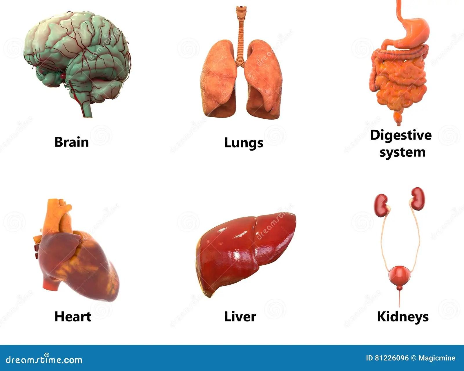 Human Body Organs Anatomybrain Lungs Digestive System