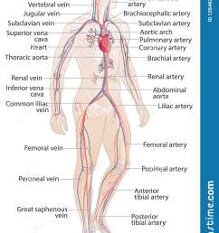 circulatory vascular system human body parts man anatomy hand drown vector sketch illustration [ 1050 x 1600 Pixel ]