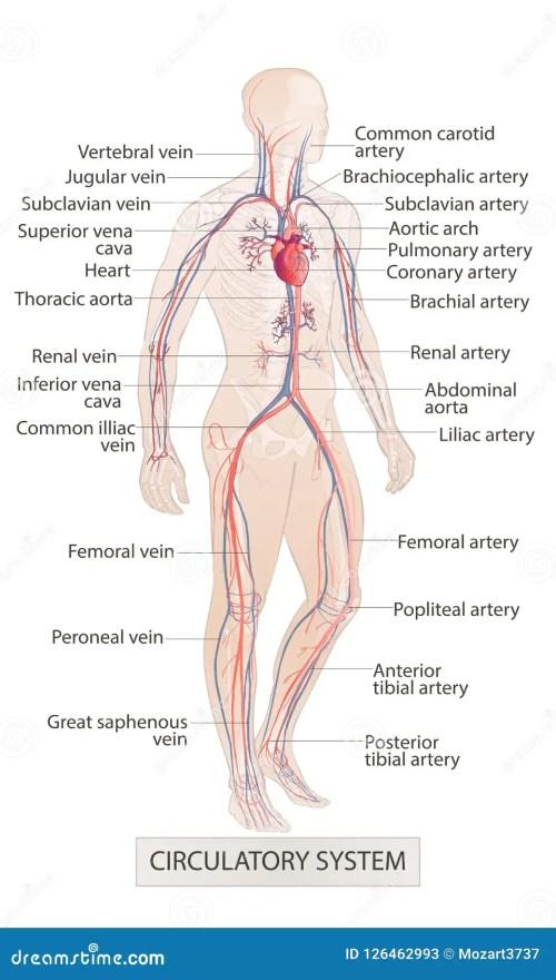 small resolution of circulatory vascular system human body parts man anatomy hand drown vector sketch illustration