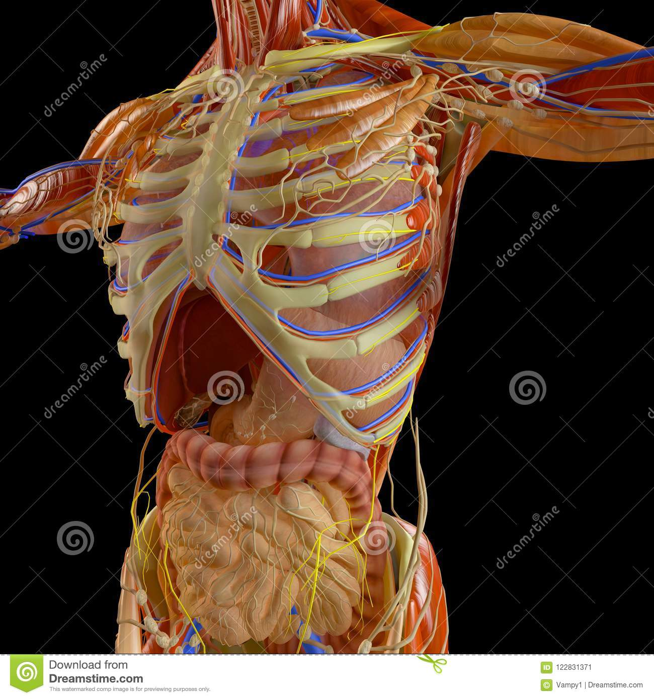 hight resolution of human body x ray view of the respiratory apparatus and digestive tract in the ribcage anatomy 3d rendering
