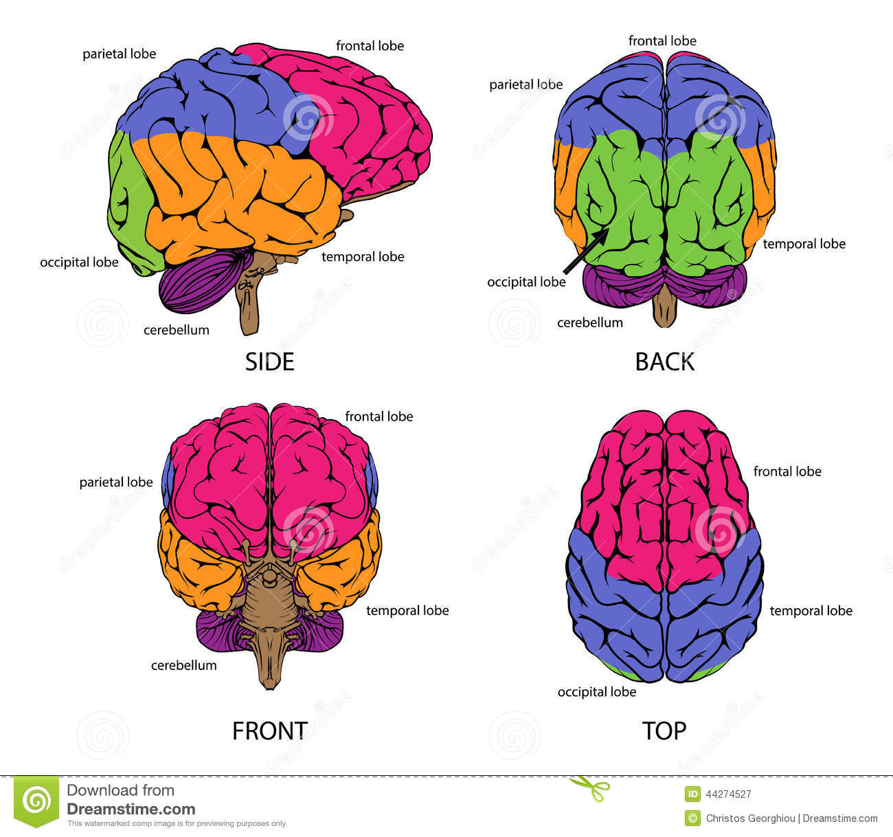 Human Brain From All Sides Stock Vector Illustration Of Brain