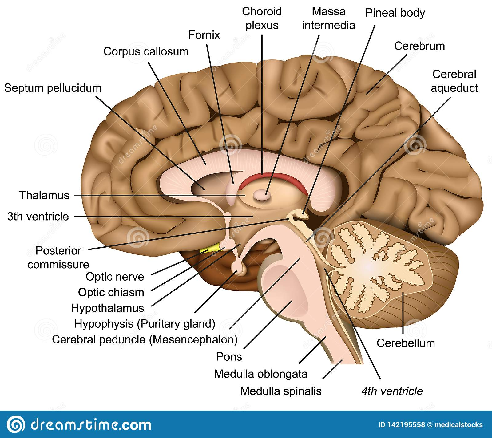 Human Brain Anatomy 3d Illustration On White Background