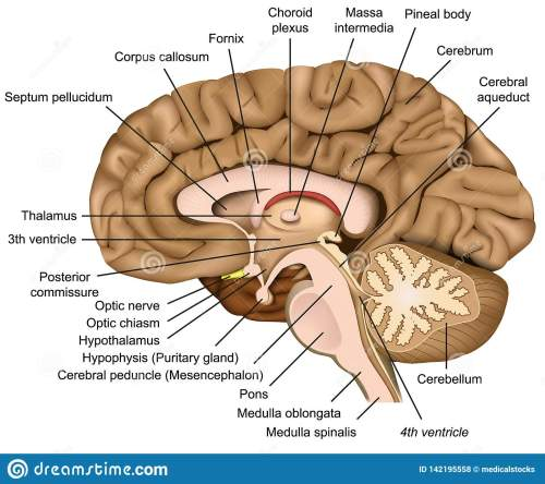 small resolution of human brain anatomy 3d illustration on white background