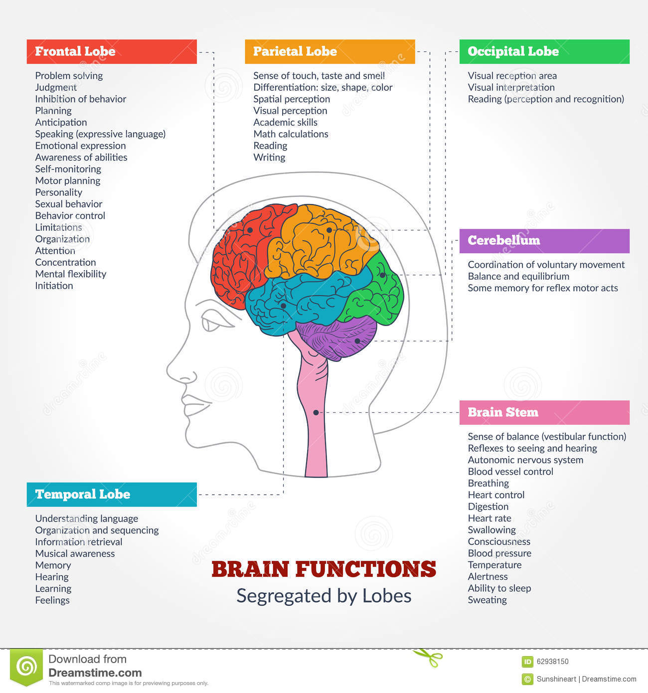 Human Brain Anatomy And Functions Stock Vector
