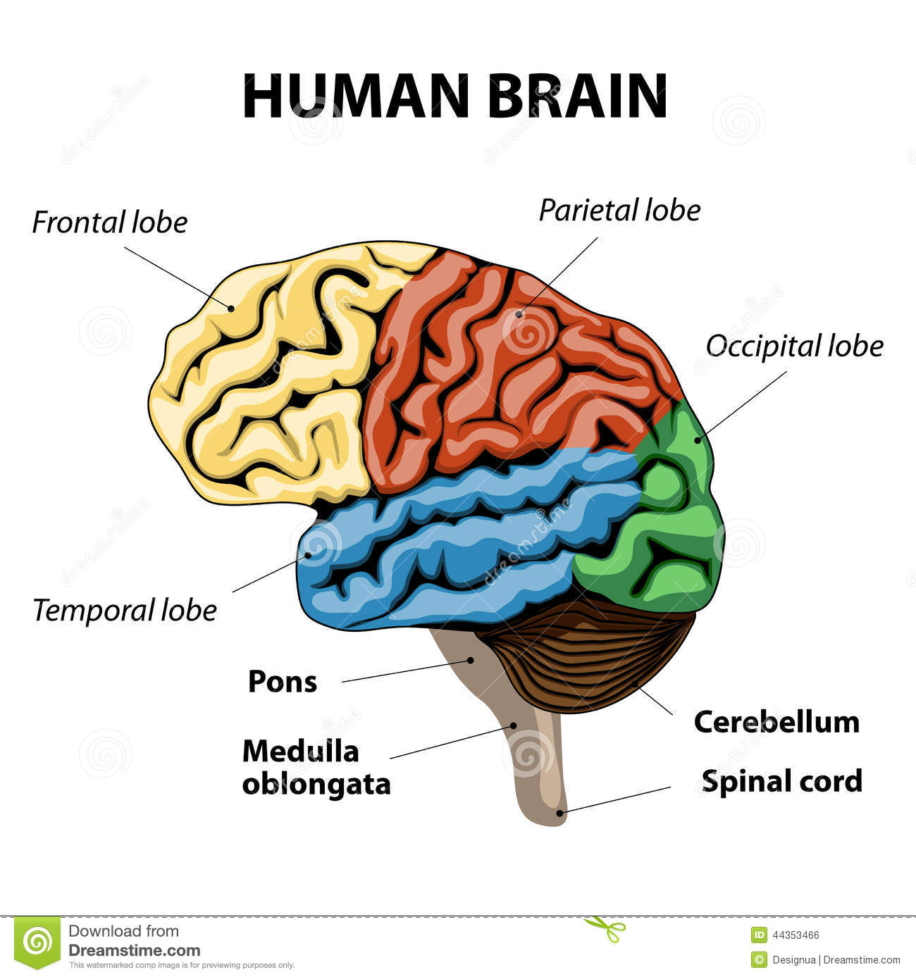 Human Brain Anatomy Stock Vector Illustration Of Diagram