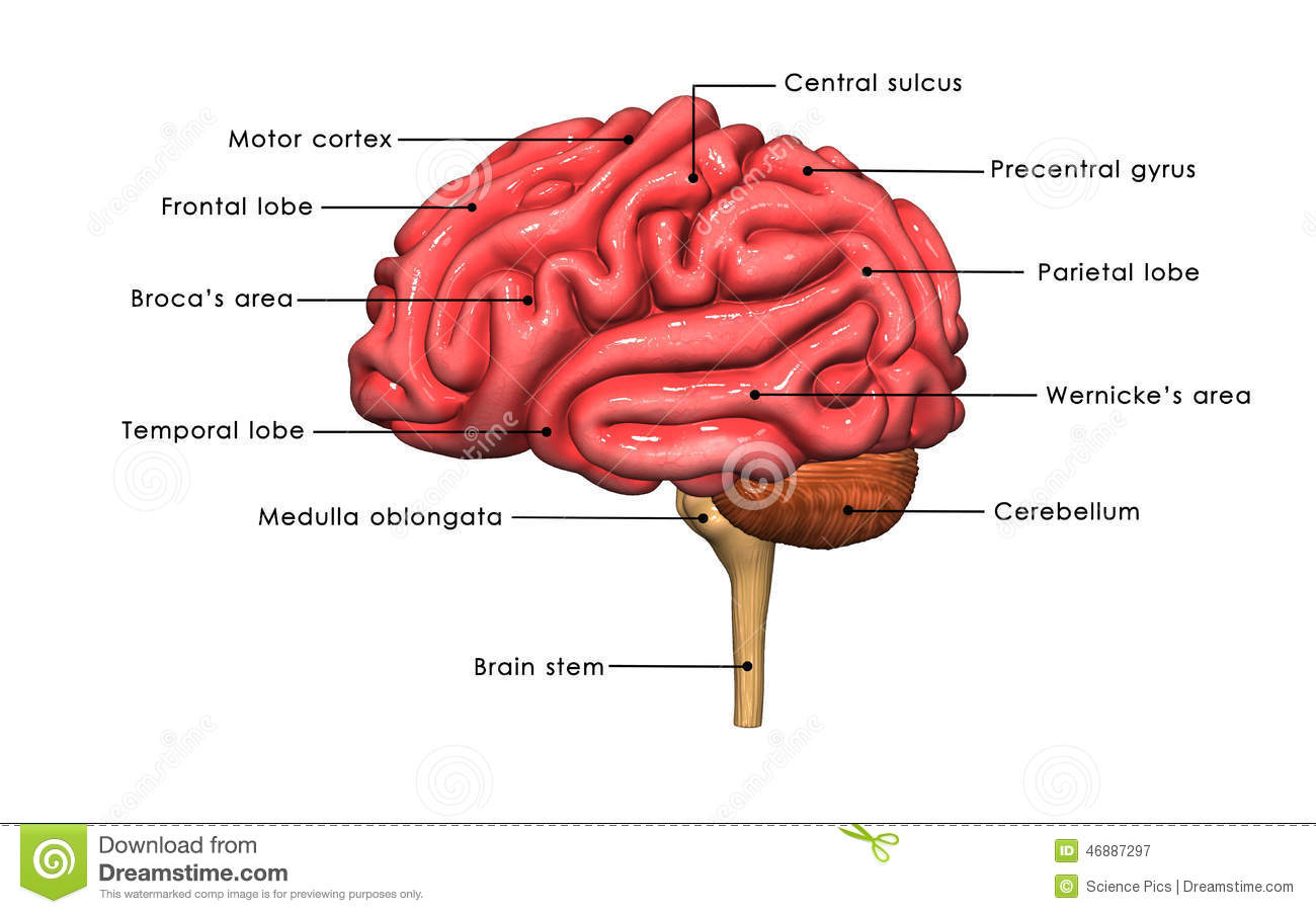 frontal brain diagram no labels sony xplod car audio wiring human labelled stock illustration of