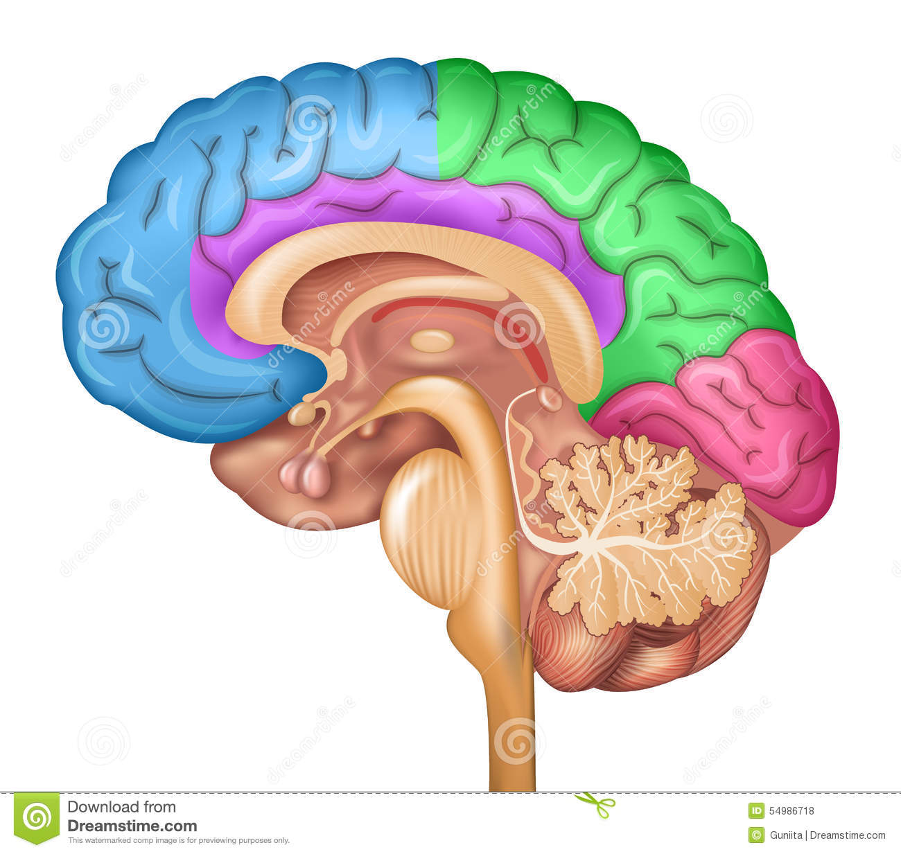 brain diagram sagittal view kia sorento wiring human lobes stock vector illustration of diagnosis