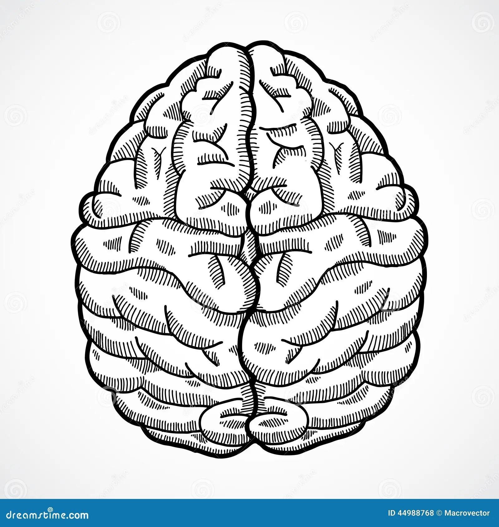Human Brain Sketch Stock Vector Illustration Of Brainy