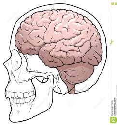human brain and skull stock vector illustration of lobe 73049041human brain and skull [ 1248 x 1300 Pixel ]