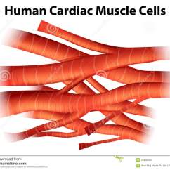 Human Muscle Cell Diagram Hpm Male Plug Wiring Cardiac Cells Stock Illustration Of