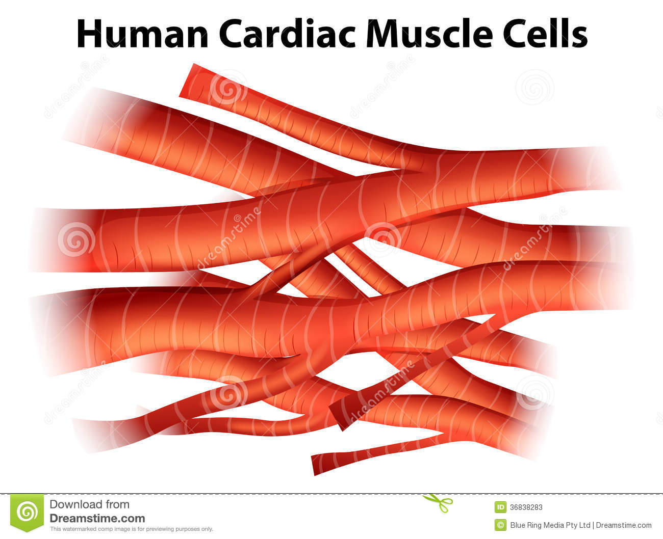 cardiac muscle labeled diagram 1993 volvo 240 wiring human cells stock illustration
