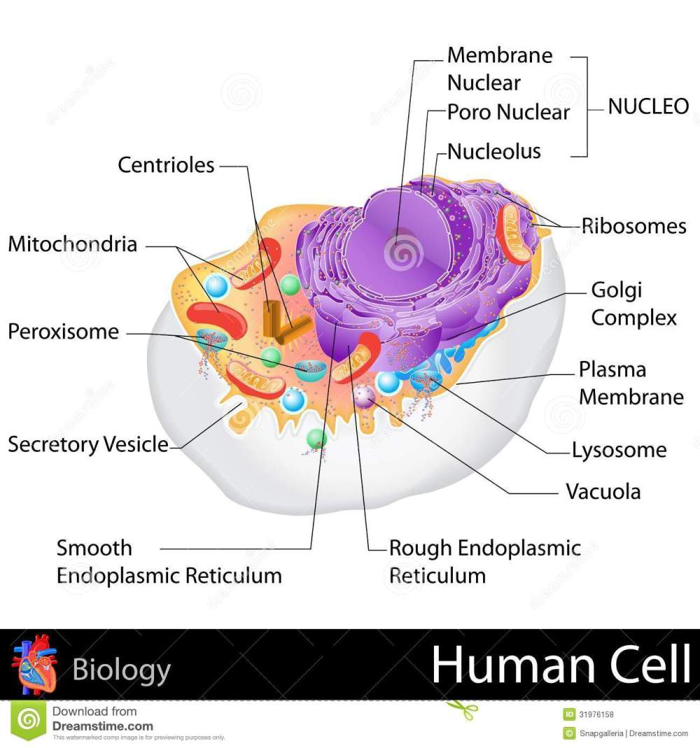 medium resolution of easy to edit vector illustration of human cell structure