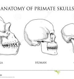 human and chimpanzee gorilla biology and anatomy illustration monkey skull diagram [ 1300 x 818 Pixel ]