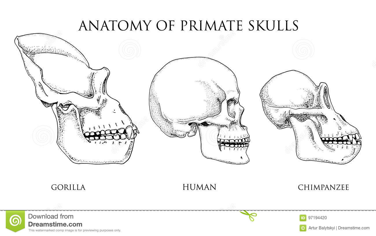 hight resolution of human and chimpanzee gorilla biology and anatomy illustration monkey skull diagram