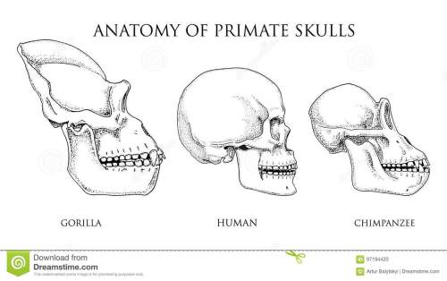 small resolution of human and chimpanzee gorilla biology and anatomy illustration monkey skull diagram