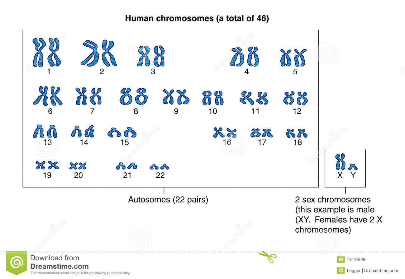 Human Chromosomes Stock Vector Illustration Of Nucleus
