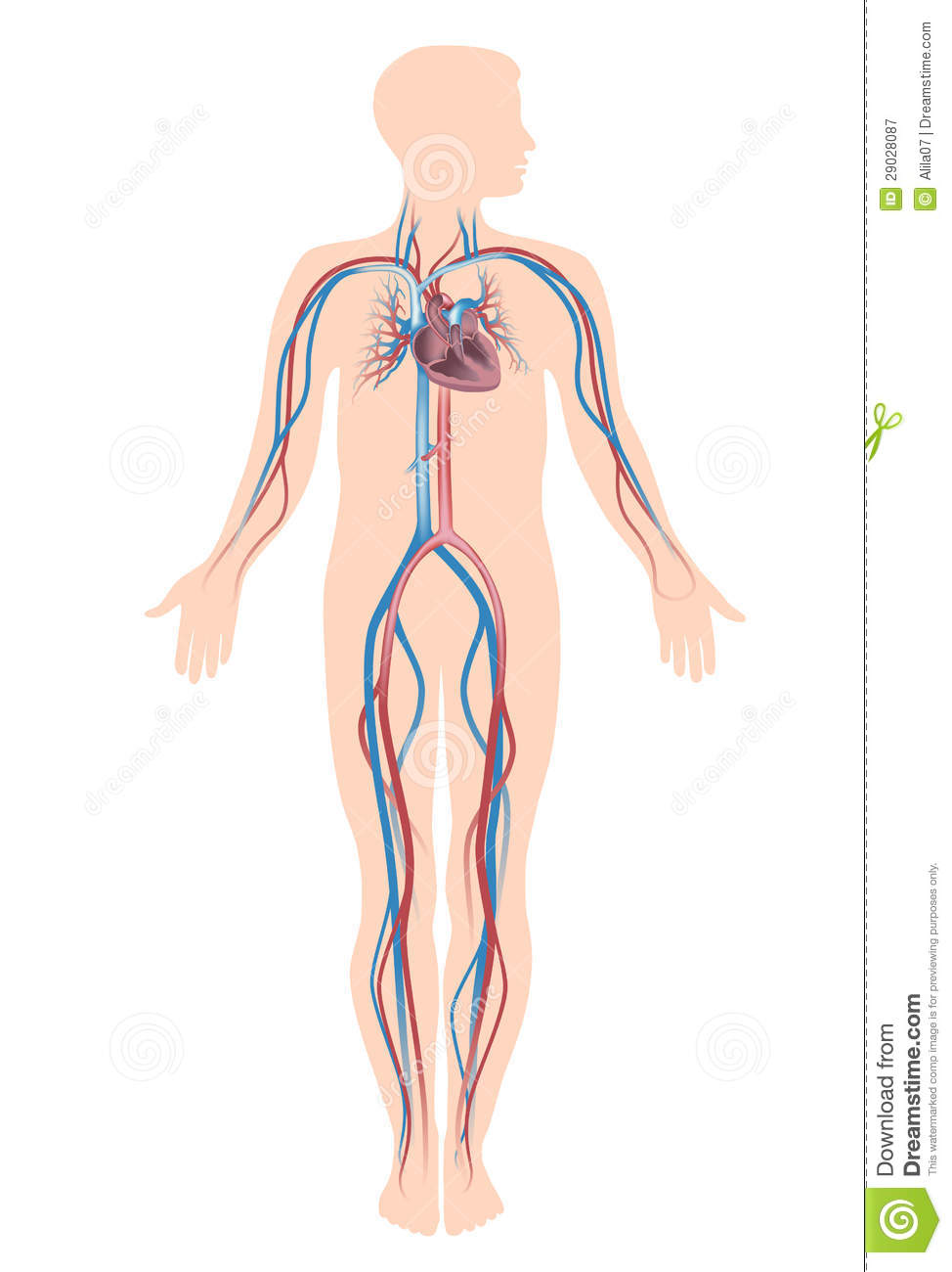 human vascular anatomy diagram trailer junction box wiring circulation system royalty free stock photography - image: 29028087