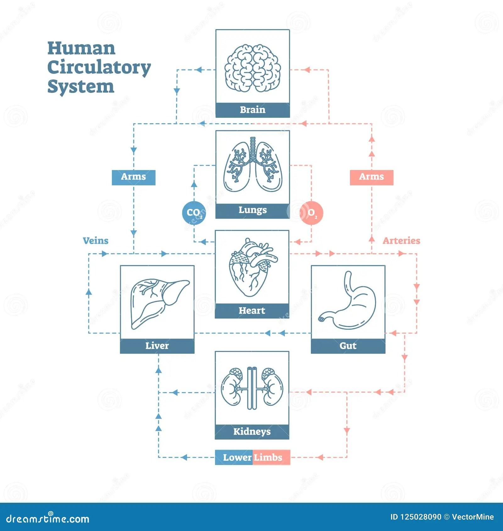 Human Circulatory System Vector Illustration Diagram
