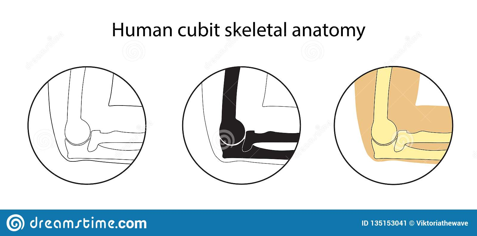 hight resolution of human cubit skeletal anatomy vector illustrations set educational anatomy materials medical center clinic institute rehabilitation diagnostic