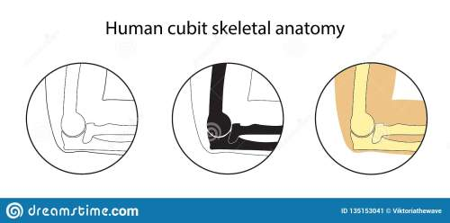 small resolution of human cubit skeletal anatomy vector illustrations set educational anatomy materials medical center clinic institute rehabilitation diagnostic