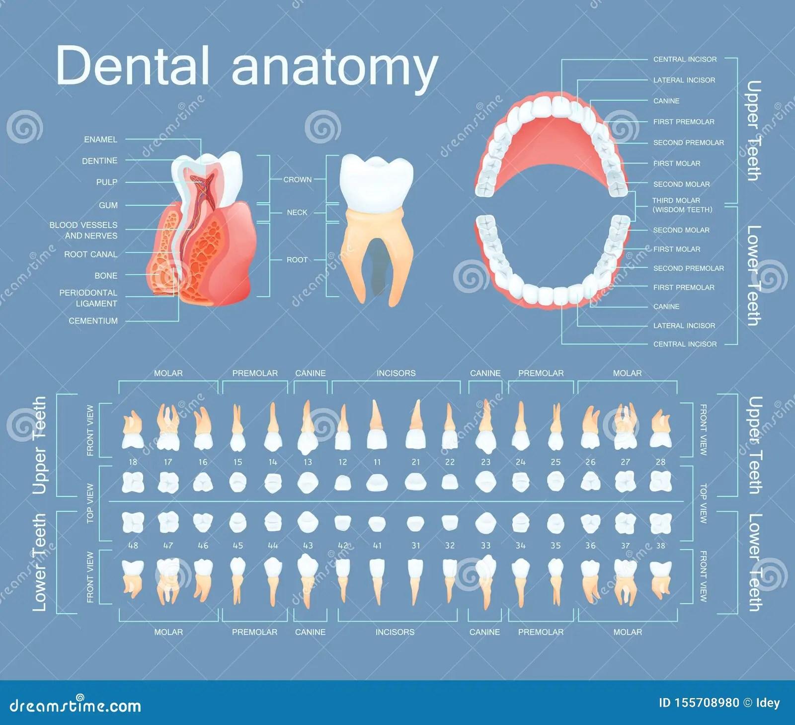 Human Dental Anatomy Tooth Anatomy Numbering Infographics