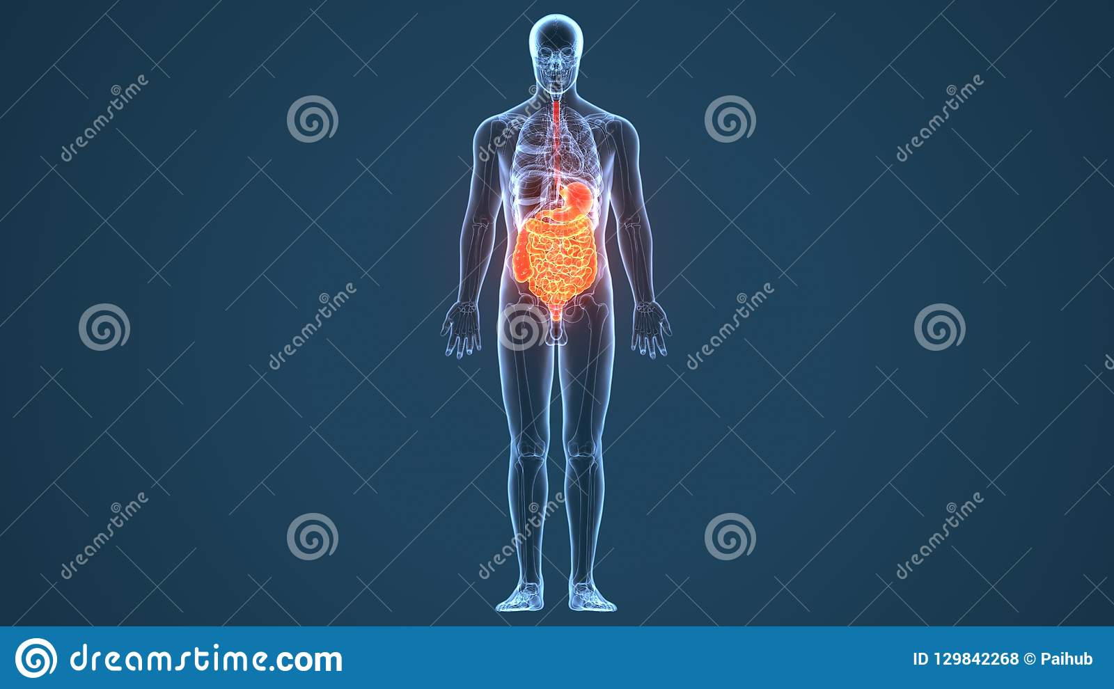 hight resolution of the human digestive system consists of the gastrointestinal tract plus the accessory organs of digestion the tongue salivary glands pancreas liver