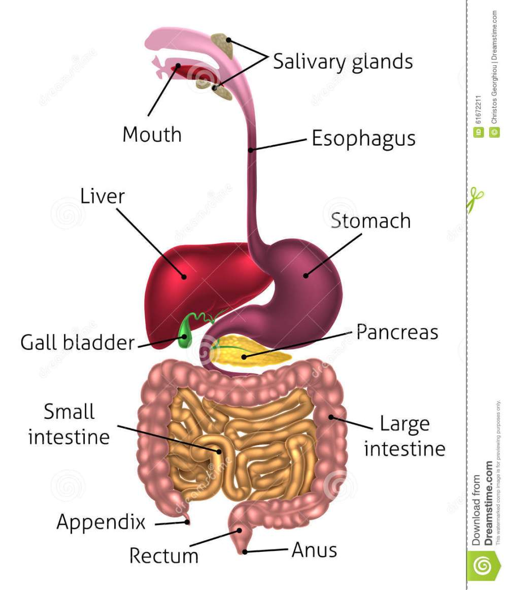 medium resolution of human digestive system digestive tract or alimentary canal including labels with us spellings