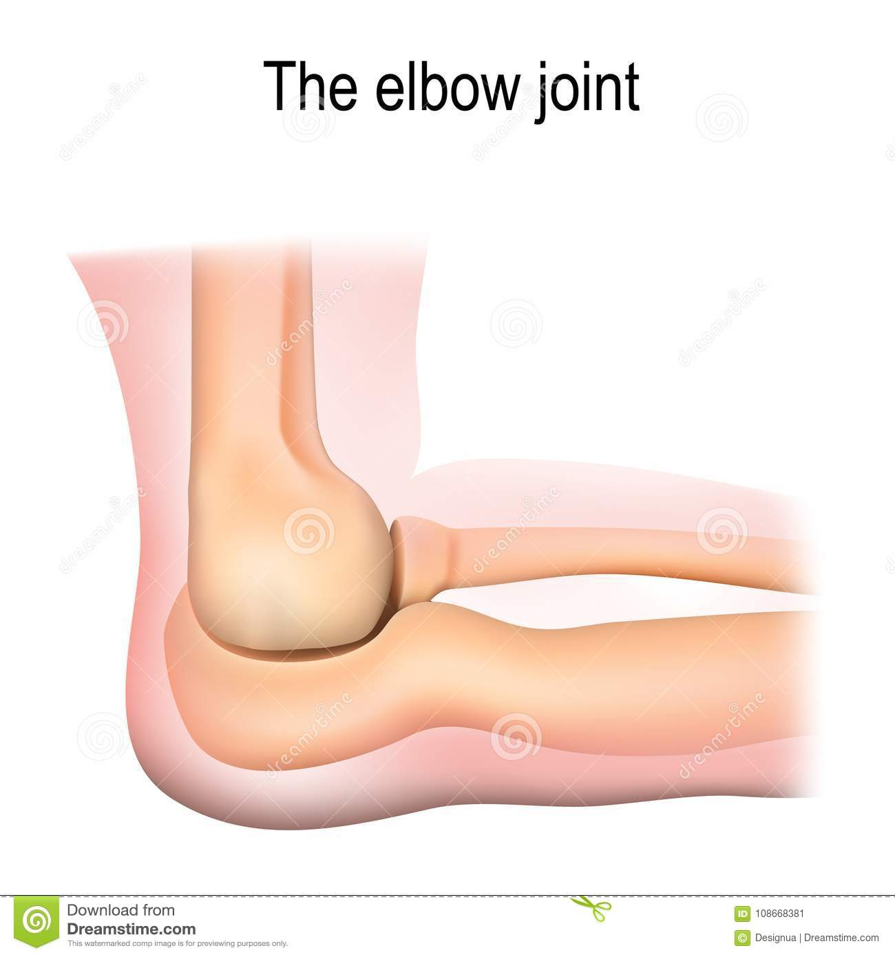 hight resolution of human elbow joint anatomy