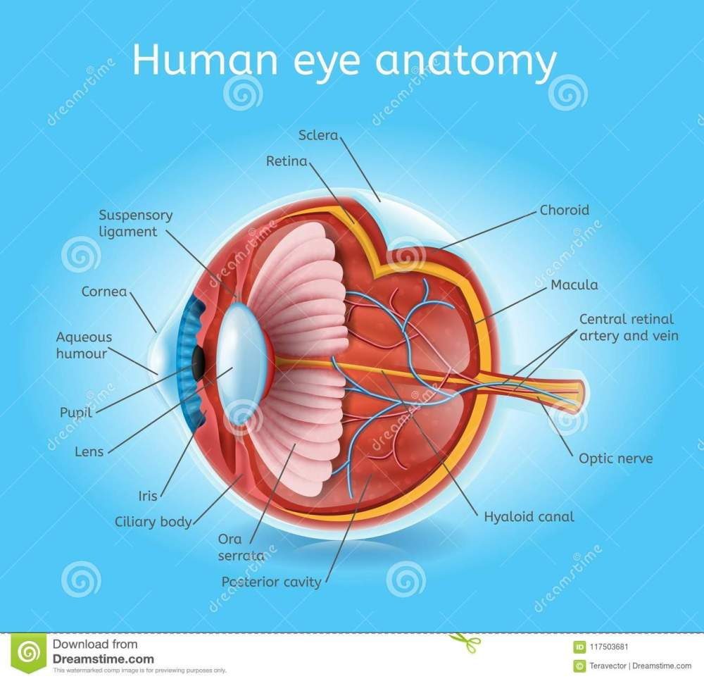 medium resolution of human eye anatomy detailed cross section view vector scheme with layers and labels medical infographic poster human physiology realistic illustration