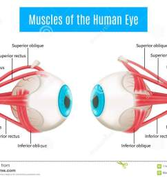 eye anatomy 3d diagram infographics layout showing human eyes muscles in side view with labeling vector illustration [ 1300 x 957 Pixel ]