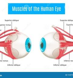 human eye anatomy diagram [ 1300 x 957 Pixel ]