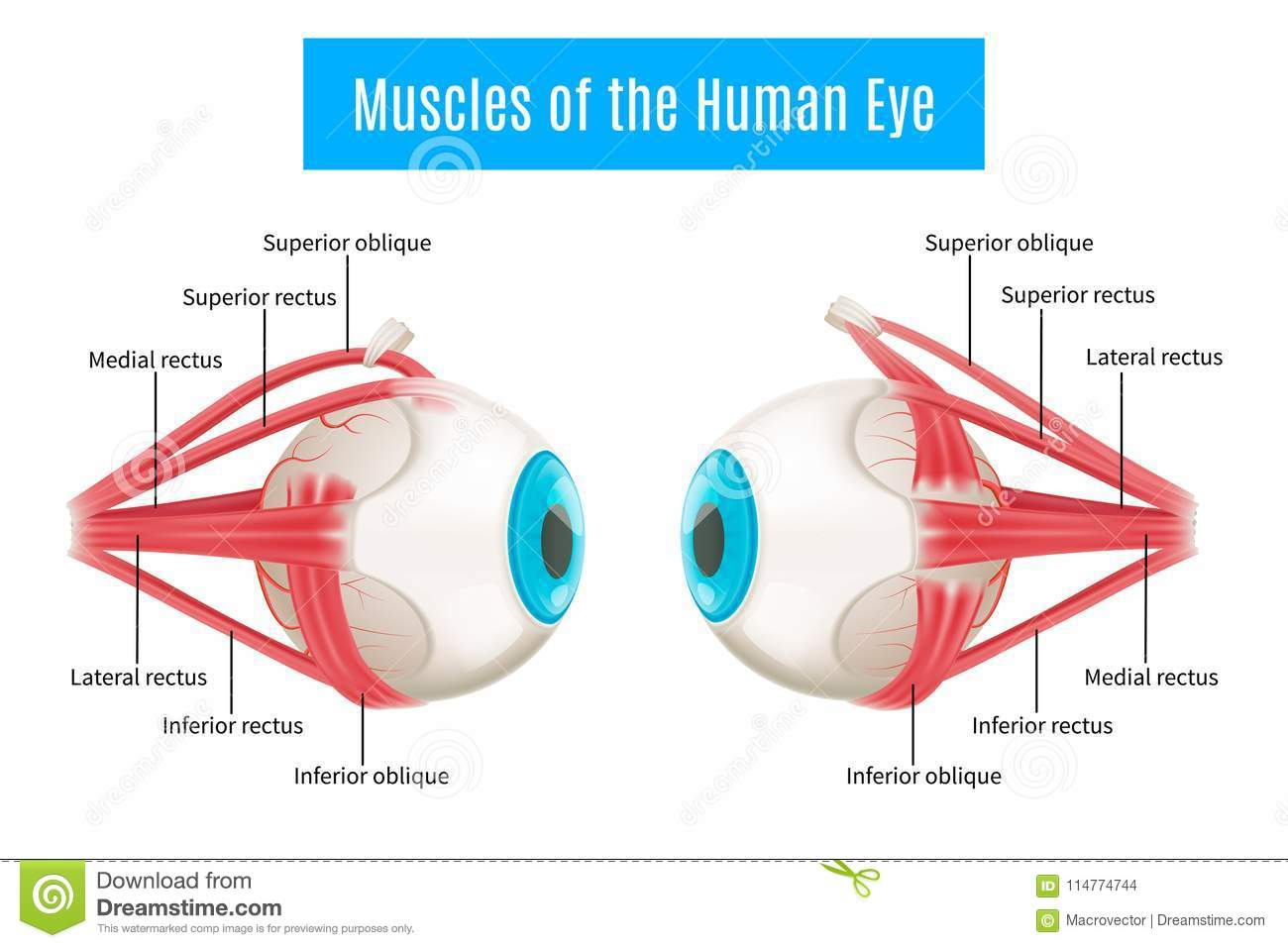 hight resolution of eye anatomy 3d diagram infographics layout showing human eyes muscles in side view with labeling vector illustration