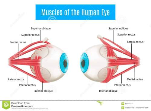 small resolution of eye anatomy 3d diagram infographics layout showing human eyes muscles in side view with labeling vector illustration