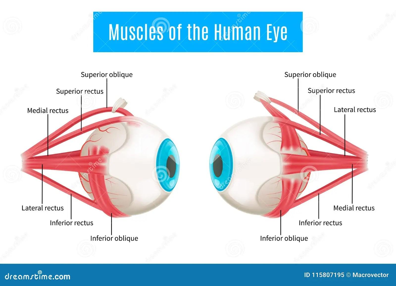 Human Eye Anatomy Diagram Stock Vector Illustration Of