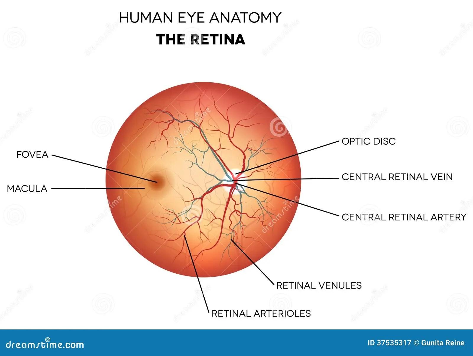 hight resolution of human eye anatomy retina stock vector illustration of eyes 37535317 rh dreamstime com eye diagram label human eye diagram labeled