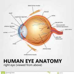 Canine Eye Diagram Right Wiring For Home Inverter Human Anatomy Viewed From Above Stock