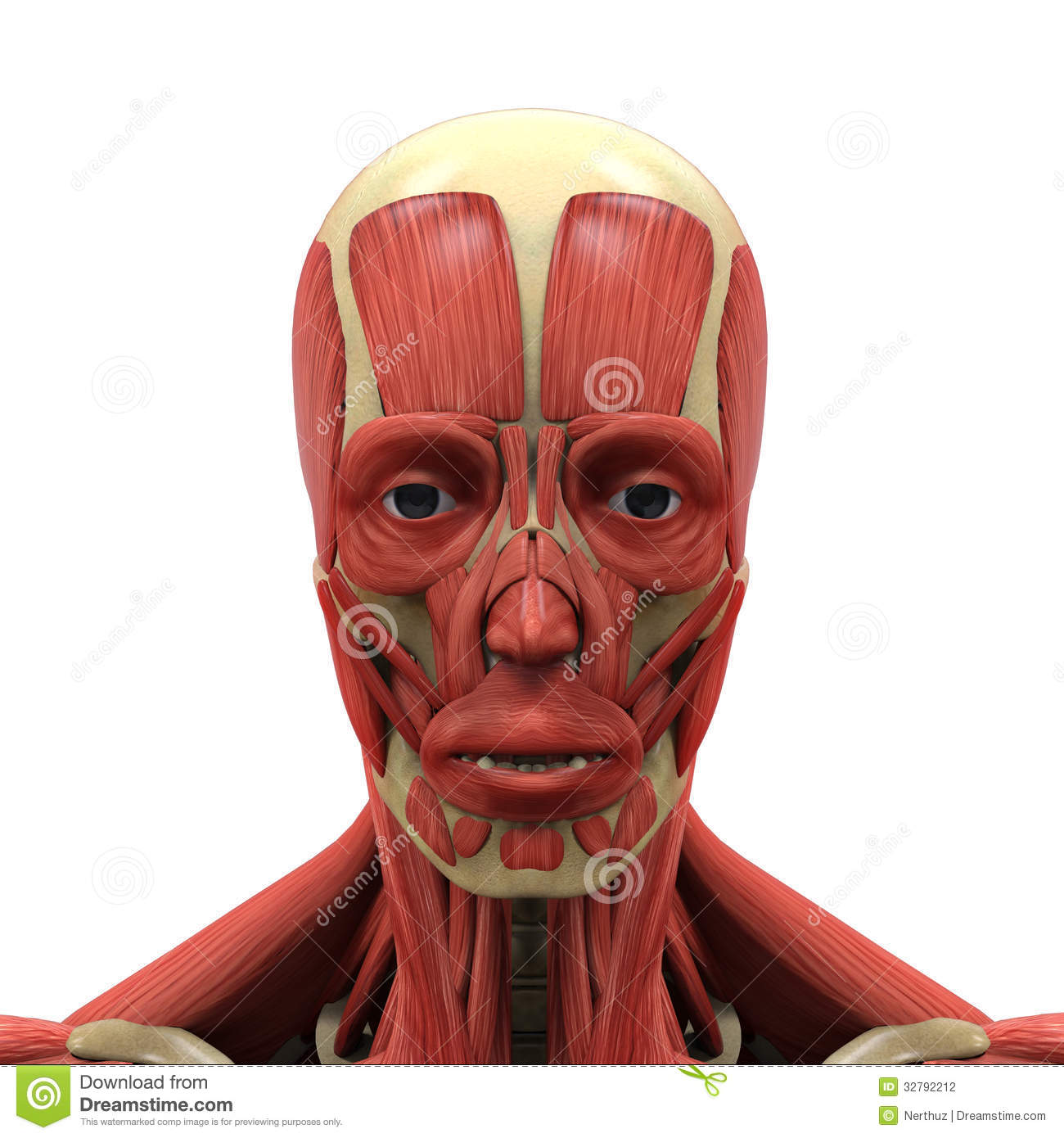 face muscles diagram gibson central air conditioner wiring human anatomy stock photography image 32792212