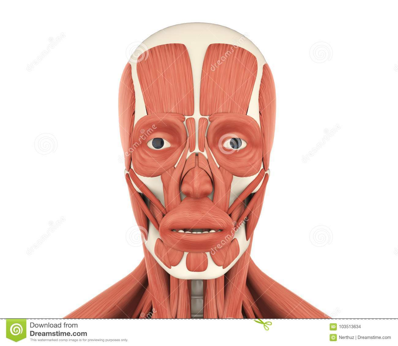 Human Facial Muscles Anatomy Stock Illustration