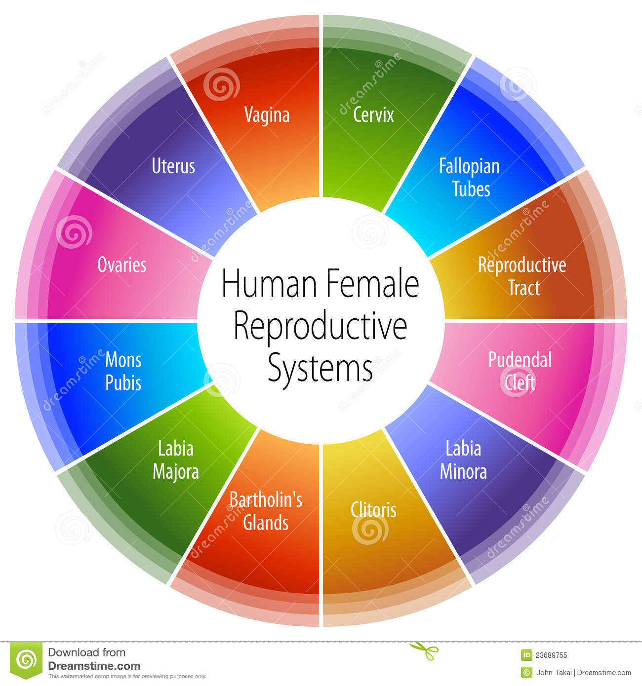 Human Female Reproductive Systems Chart Royalty Free Stock