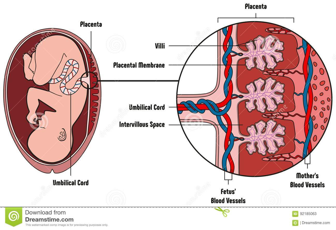 hight resolution of human fetus placenta anatomy diagram with all part including mother blood vessels umbilical cord placental membrane for medical biology education