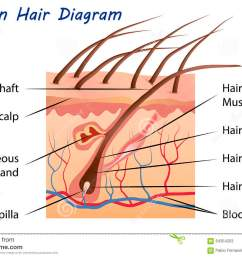 human hair diagram  [ 1300 x 957 Pixel ]