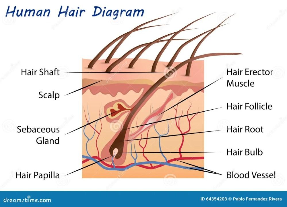 medium resolution of human hair diagram