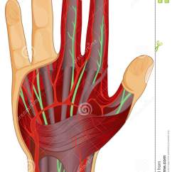 Hand Nerves Diagram 2000 Bmw 528i Fuse Human And Muscle Stock Illustration Of Circulatory System In With
