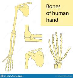 human hand wrist fingers shoulder cubit skeletal anatomy vector illustration set educational anatomy materials medical center clinic institute  [ 1600 x 1689 Pixel ]