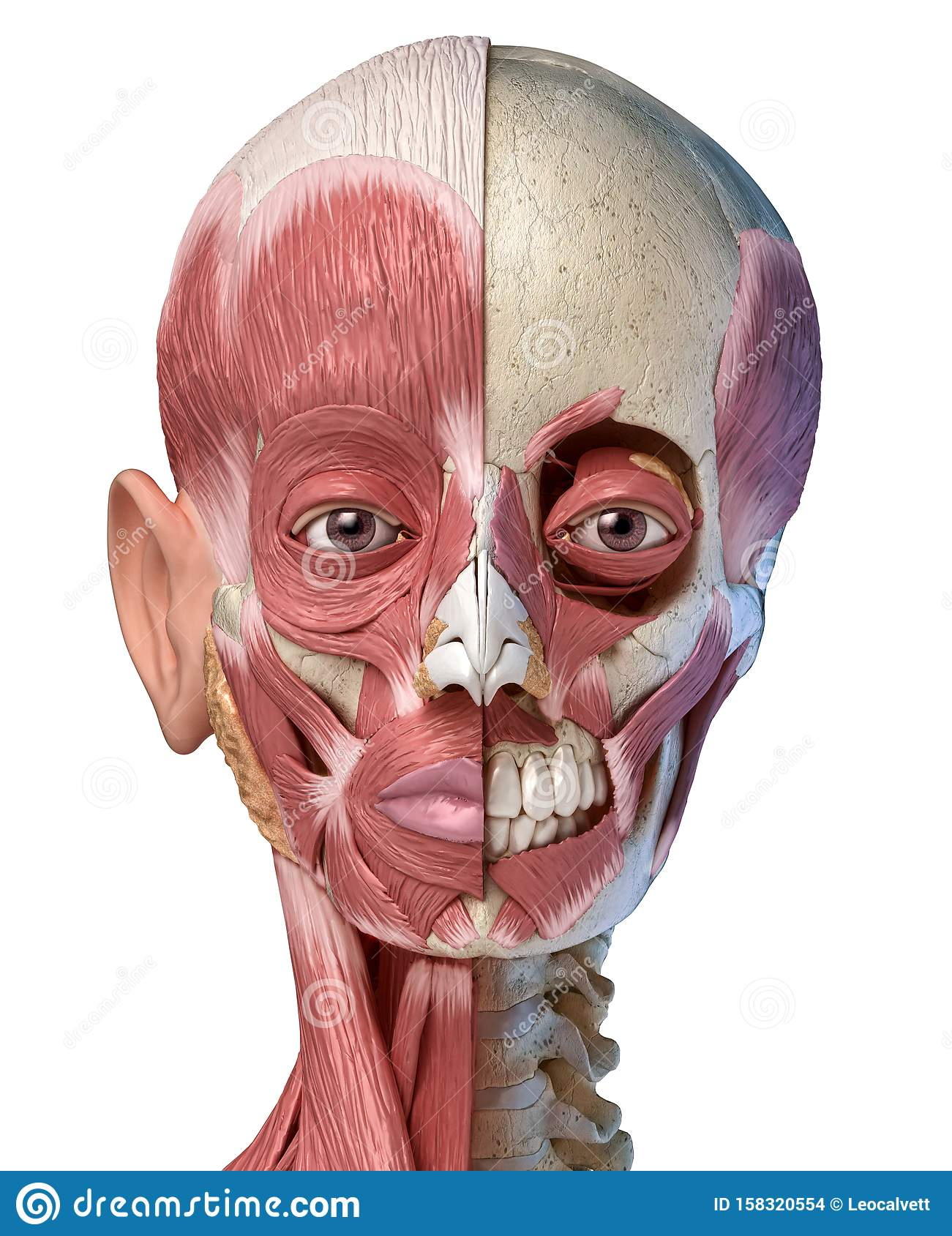 Human Head Muscular System On Skull Front View Stock